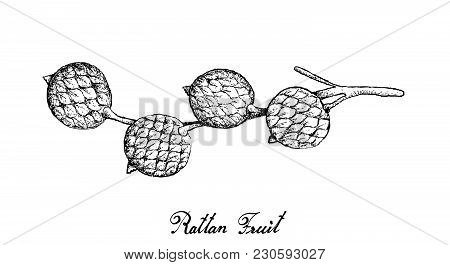 Tropical Fruits, Illustration Of Hand Drawn Bunch Of Sketch Rattan Fruits Isolated On A White Backgr