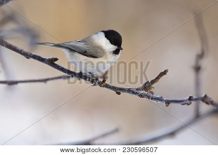 Willow Tit (poecile Montanus) Sits On A Branch Of An Apple Tree (glare In The Eye).