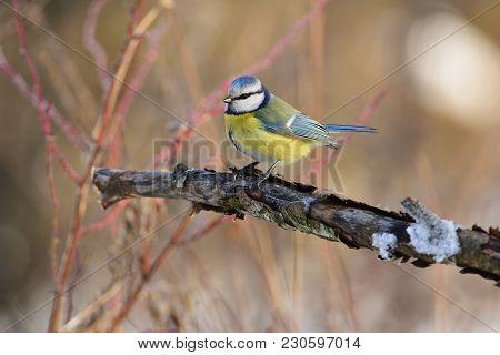 The Eurasian Blue Tit (cyanistes Caeruleus) Sitting On A Branch With Flaking Bark (at Sunrise).