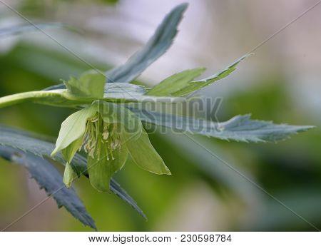 Green Hellebore - Helleborus Viridis  Rare Woodland Flower