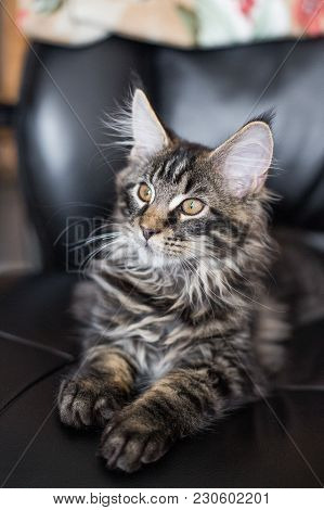 The Kitten Sits In A Leather Armchair And Looks Aside