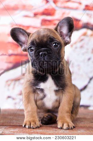 Portrait of french bulldog dog, puppy