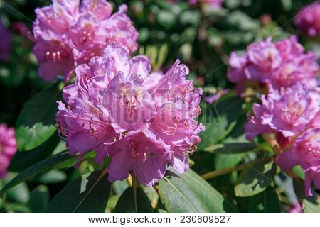 Blooming Pink Purple Rhododendron In A Park Or Garden In Spring On A Sunny Day Against A Background