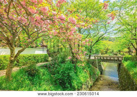 Philosopher's Walk Cherry Blossom