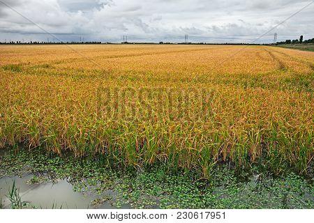 Yellow Rice Field In Porto Tolle, Rovigo, Veneto, Italy - Landscape Of The Countryside In The Po Del