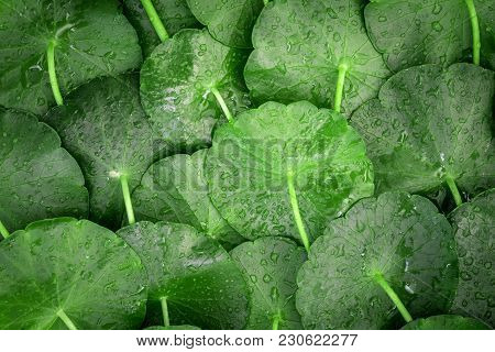 Close Up Circle Green Leaf Decoration As Abstract Green Background From Centella Asiatica ,fresh  He