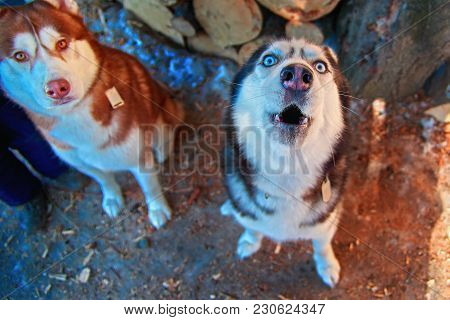 Muzzle Howling Dog. Siberian Husky Howl With His Head Up. Black And White Husky Dog With Blue Eyes.