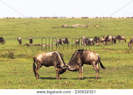 Duel of two wildebeest male. Savanna of Masai Mara. Kenya, Africa