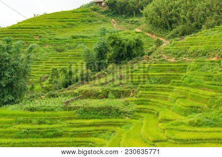 Hill With Rice Terraces And Mud Path, Buffalo Track
