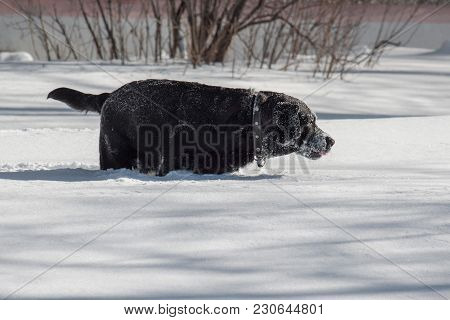 Black Labrador Is Playing On White Snow. Pet Animals. Sunny Winter Day.