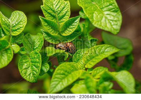 A Leaf Of A Potato Of Green Color On Which Two Colorado Potato Beetles