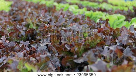 Vegetables Organic And Hydroponic Vegetables Cabbage Growing In A Farmer's Field