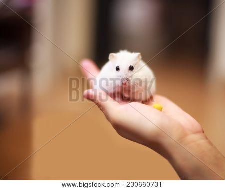Cute Winter White Dwarf Hamster On The Owner Hand Is Being Fed With Pet Food. The Winter White Hamst