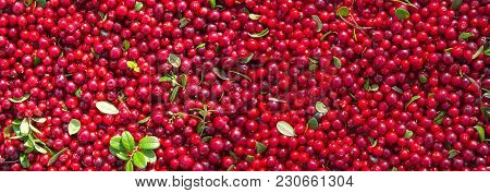 Red Ripe Berries Of A Cowberry With Green Leaves. Panorama. Vitamin Product For A Healthy Diet. For