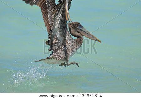 Amazing Pelican Taking Flight From Tropical Ocean Waters.