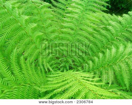 Spiral Giant Fern