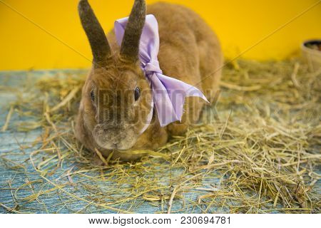 Cute Brown Rabbit With Blue Bow On Blue Wooden Background Eating Grass