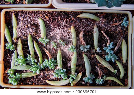 Concept Vegetative Reproduction Plants. Seedlings Succulents In Bowl With Moistened Sand And Peat. N