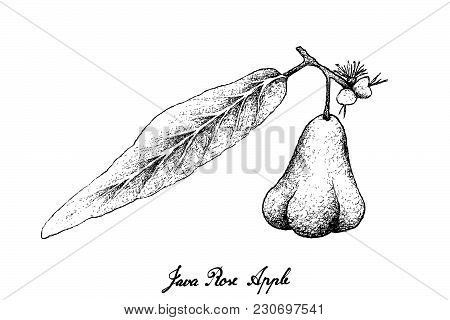 Tropical Fruits, Illustration Hand Drawn Sketch Of Java Rose Apple, Bell Fruit, Water Apple, Wax Jam