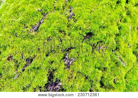 Green Moss On A Bough Tree Background Texture In Nature