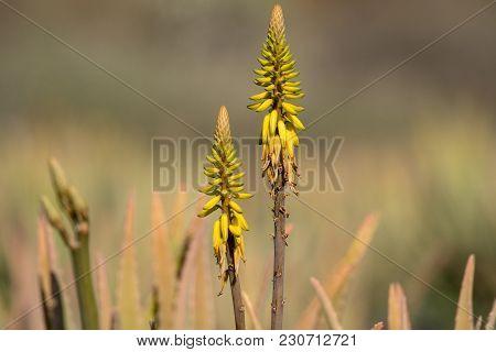 Aloe Vera Plantation, Cultivation Of Aloe Vera, Healthy Plant Used For Medicine, Cosmetics, Skin Car