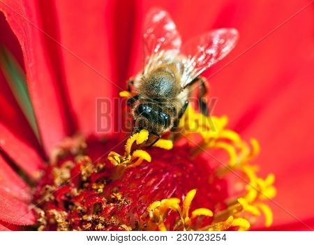 Detail Of Bee Or Honeybee In Latin Apis Mellifera, European Or Western Honey Bee Pollinated Red And