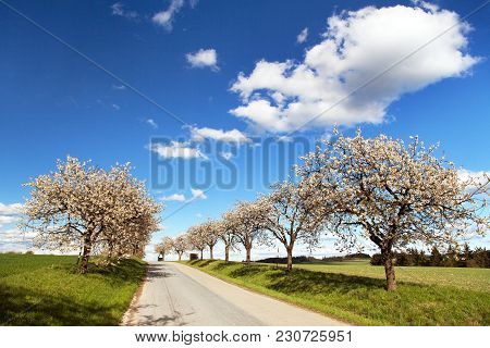 Road And Alley Of Flowering Cherry-trees With Beautiful Clouds On Sky