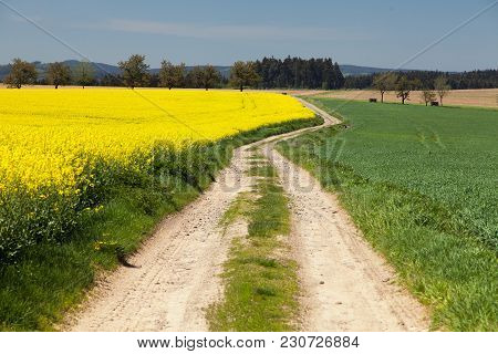 Field Of Rapeseed, Canola Or Colza, In Latin Brassica Napus With Rural Road And Clear Blue Sky - Rap