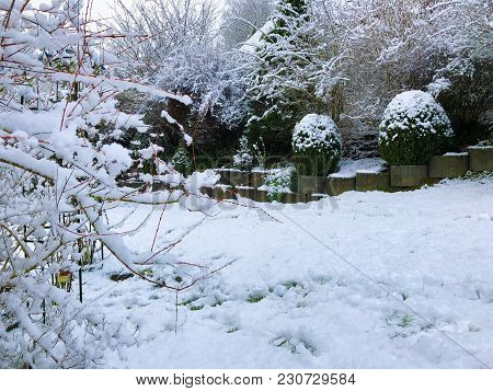 Tree Covered By Snow Winter Boxwood And Picea Glauca Conica Dwarf Decorative Coniferous Evergreen Tr