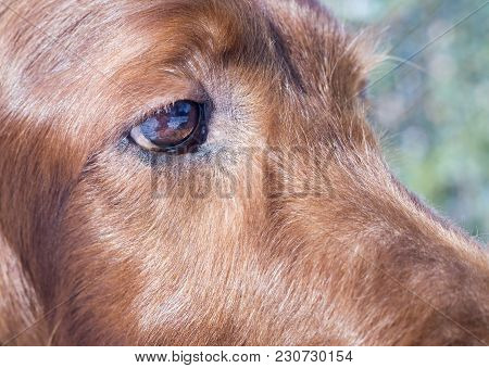 Eye And Fur Of A Cute Irish Setter Dog With Blank, Copy Space