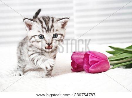 The Kitten Meows Shouts Purebred Kitten. Baby Kitten
