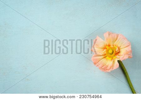 Oriental Poppy (papaver Orientale) Over Blue Background