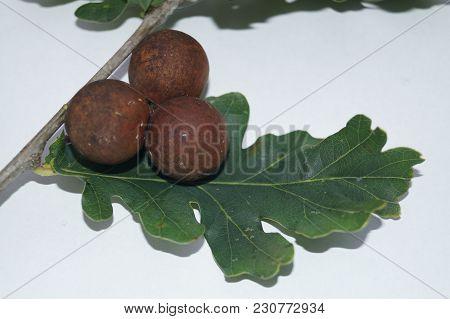 Cynips Quercusfolii Gall Balls On Oak Leaf - The Wasp Cynips Quercusfolii Put Their Eggs With His Th