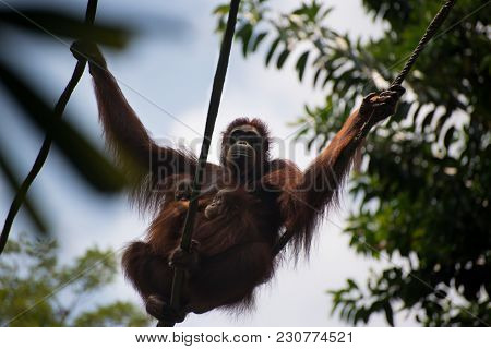 Orangutan Hanging Together With Two Children. Pensive Primate Embraces Two Offsprings. Monkey Care A