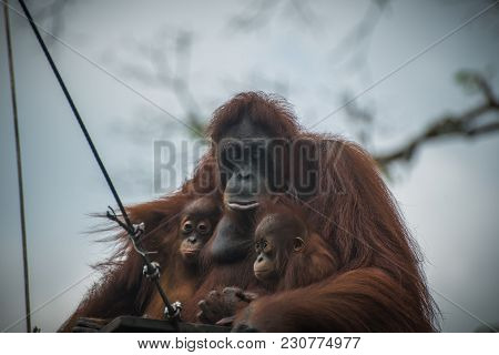 Sad Orangutan With Two Children Sits Together. Pensive Primate With Closed Eyes Embraces Two Offspri