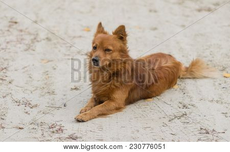 Mixed-breed Red-haired Dog Lying On A Sandy Ground And Watching While Guarding Its Territory