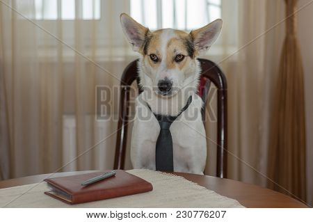 Indoor Portrait Of White Mixed-breed Dog Wearing Necktie, Hard Thinking  While Sitting On A Chair At