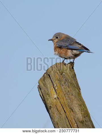 An Eastern Bluebird (sialia Sialis) Sits Atop A Fence Post In Gettysburg, Pennsylvania, Usa, Shown I