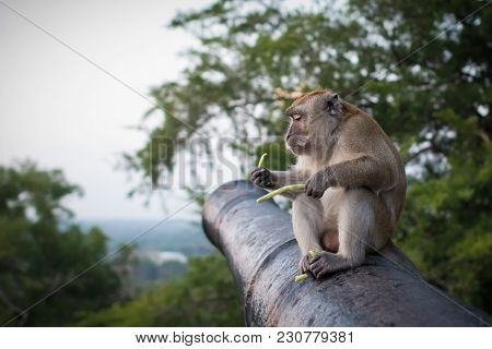 Funny Monkey Sits On The Cannon In National Park And Holds Green Sprouts. Serious Simian Eating Food