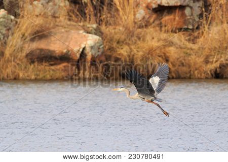 A Great Blue Heron Flying Over The Lake At The Wichita Mountains Wildlife Refuge Located In Indiahom