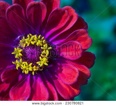 Closeup Of Red Zinnia Flower In Full Yellow Bloom