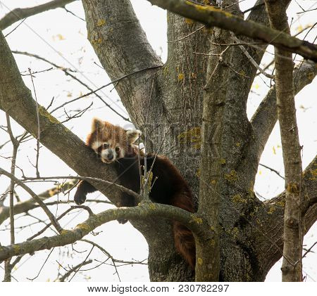 Baby Red Panda Over A Tree
