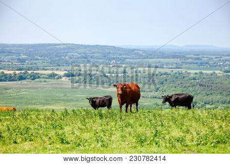 Red Poll cow at pasture on the South Downs hill in rural Sussex, Southern England, UK