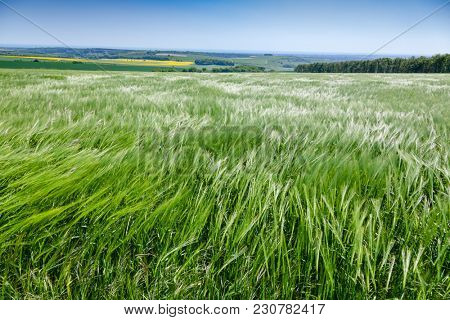 English rural landscape with green barley field in Southern England UK