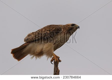 A Red Tail Hawk Balances On A Broken Tree Branch Along A Back Road In Oklahoma 2018
