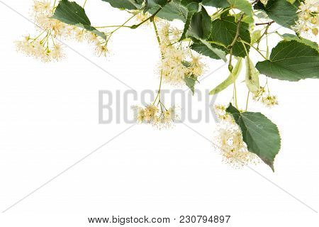 Branch With Linden Flowers Isolated On White Background