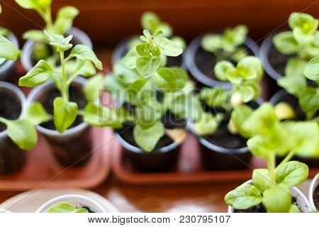 Petunia Flower Seedling In Plastic Pots On The Window