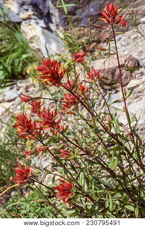 A Bright And Beautiful, Red-orange Northwest Mountain Flower Blooms In Mid-summer.