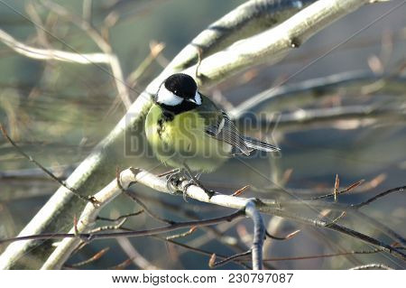 A Great Tit (parus Major) Sits On A Tree In A Sunny Day
