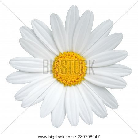 Lovely Daisy (marguerite) Isolated On White Background, Including Clipping Path. Germany